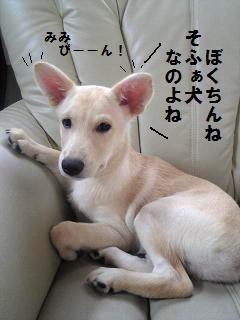 そふぁ犬.jpg